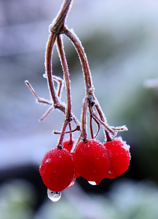 Red Berries, Branch, Frost, Winter, Trees, Freezing