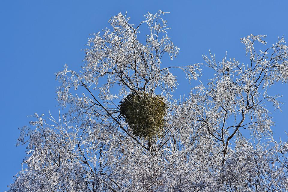 Blue Sky, Tree, Winter, Frost, Hoarfrost, Nature, Crown
