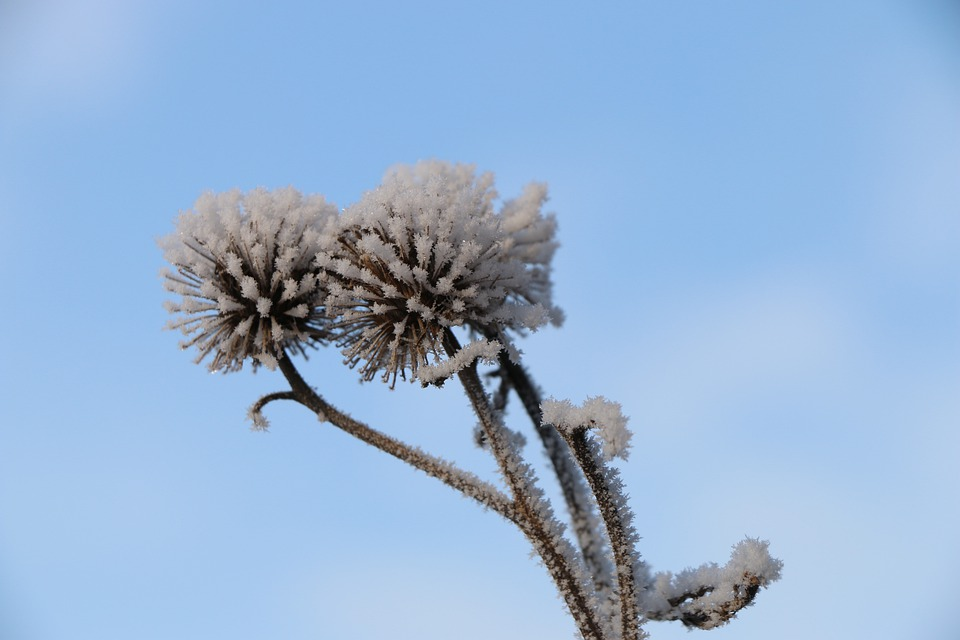 Flower, Plant, Ice, Barb, Frost, Snow, Nature, White
