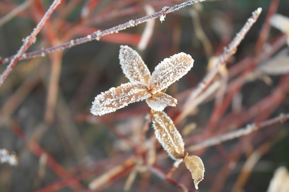 Frost, Winter, Snow, Protection, Plant, Nature