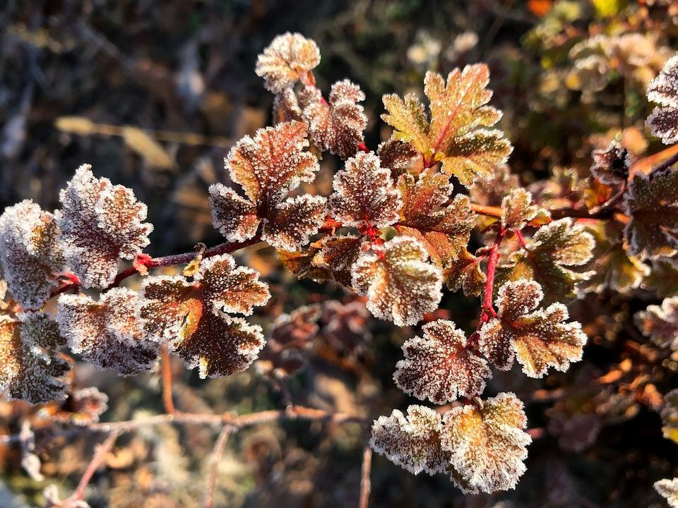 Ripe, Frost, Leaves, Hoarfrost, Frozen, Bush