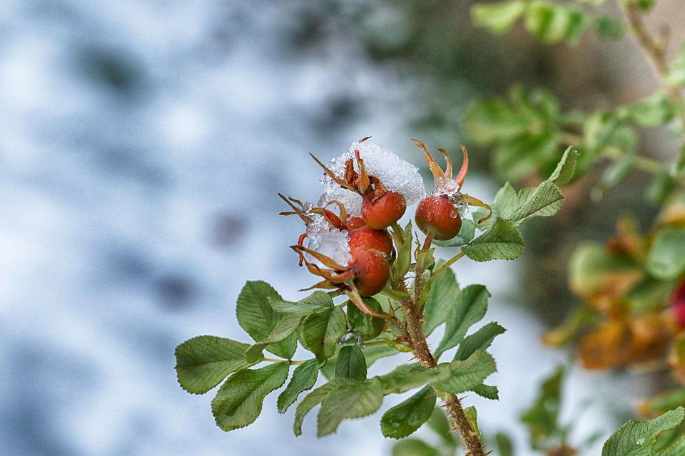 Rose Hip, Frost, Snow, Nature