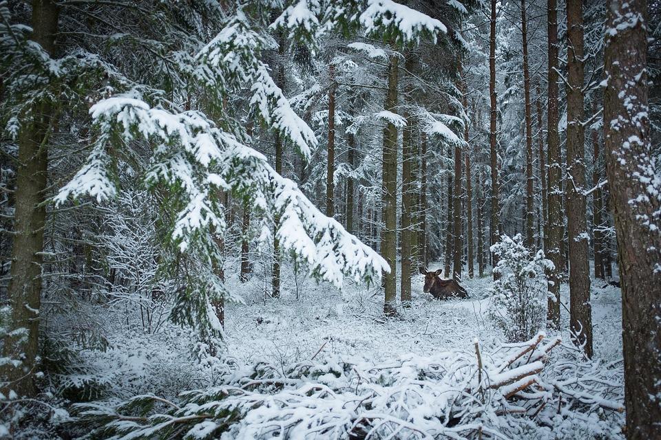 Snow, Winter, Wood, Frost, Nature, Skåne, Moose