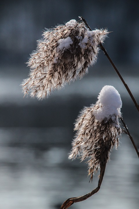 Reed, Grass, Winter, Frost, Cold, Frozen