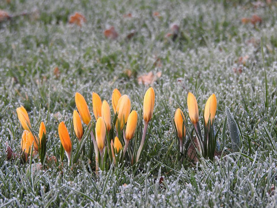 Crocus, Frozen, Yellow, Icy, Morning, Cold, Meadow