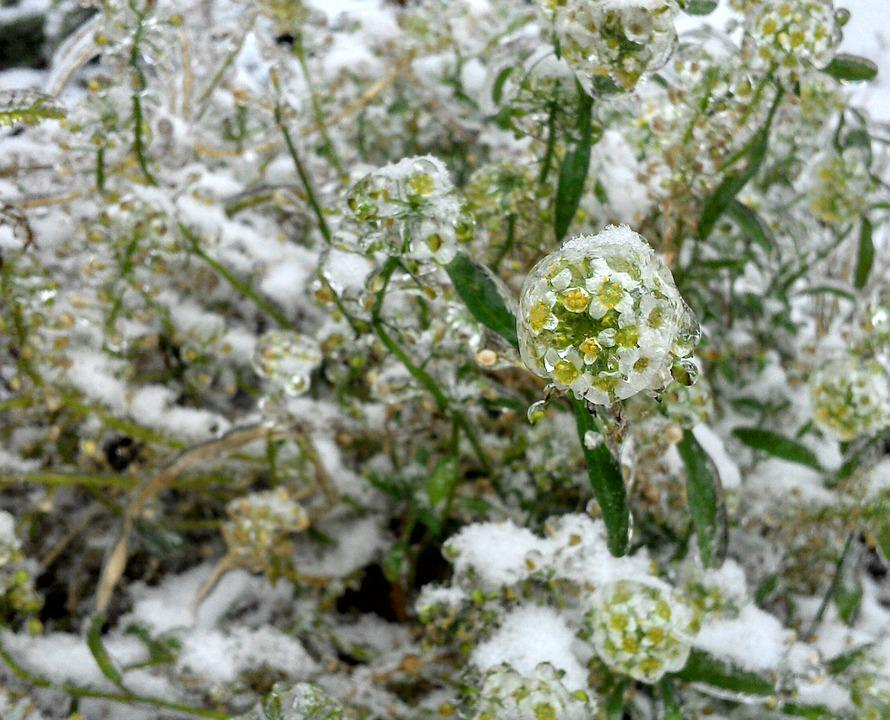 Flower, Frozen, Ornament
