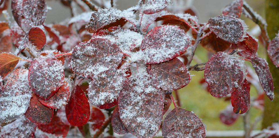 Judas Tree, Leaves, Frozen