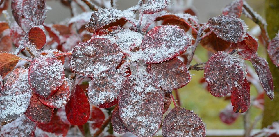 Judas Tree, Leaves, Frozen