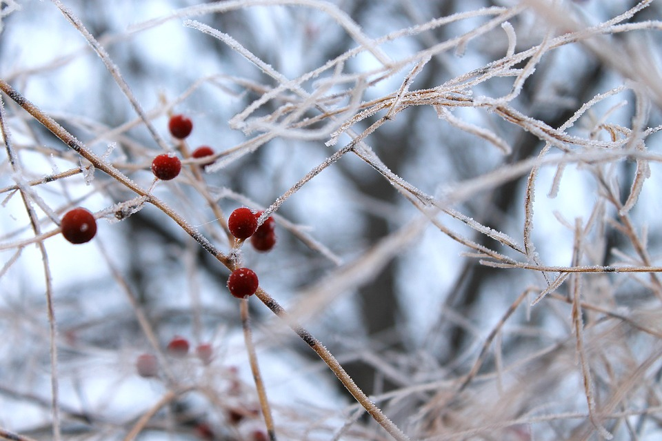 Berries, Winter, Cold, Hoarfrost, Frozen, Red, Twigs