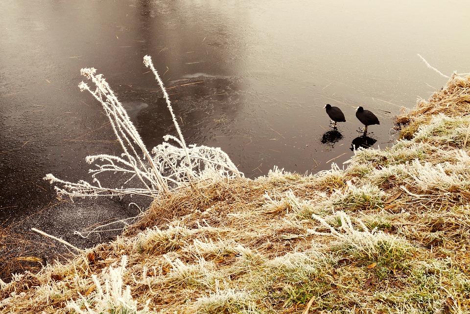 Coot, Bird, Water Bird, River, Ice, Frozen, Coot On Ice