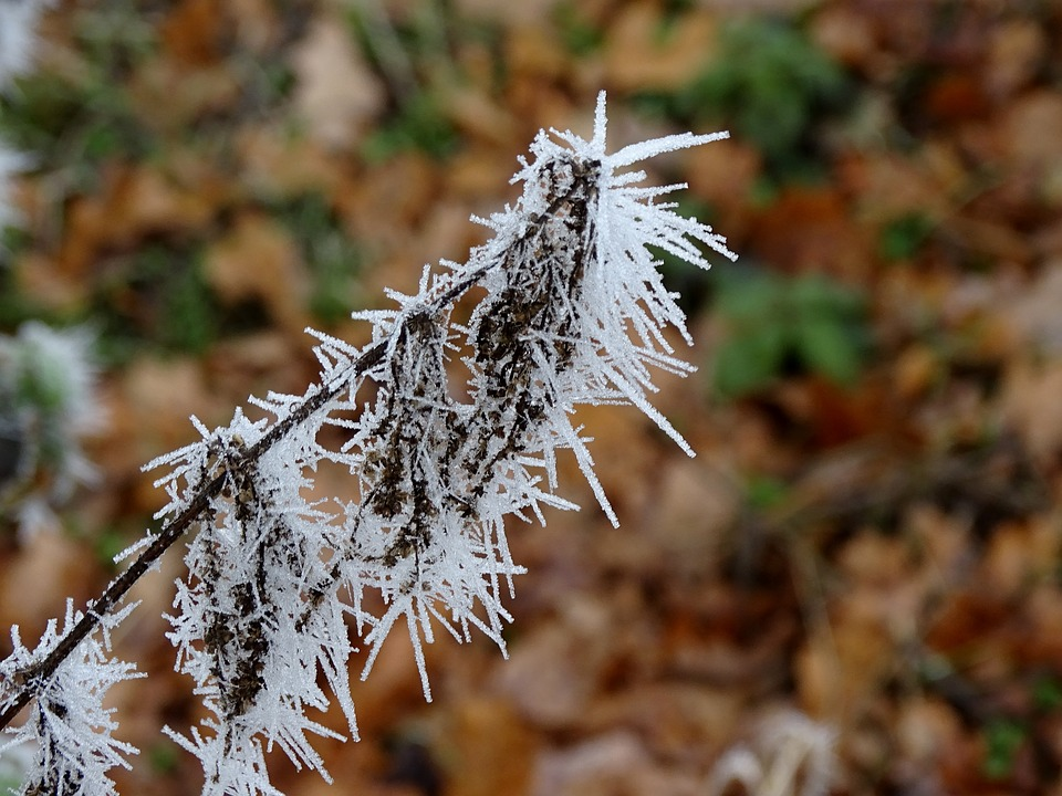 Hoarfrost, Frost, Frozen, Plant, Ice Needles, Winter