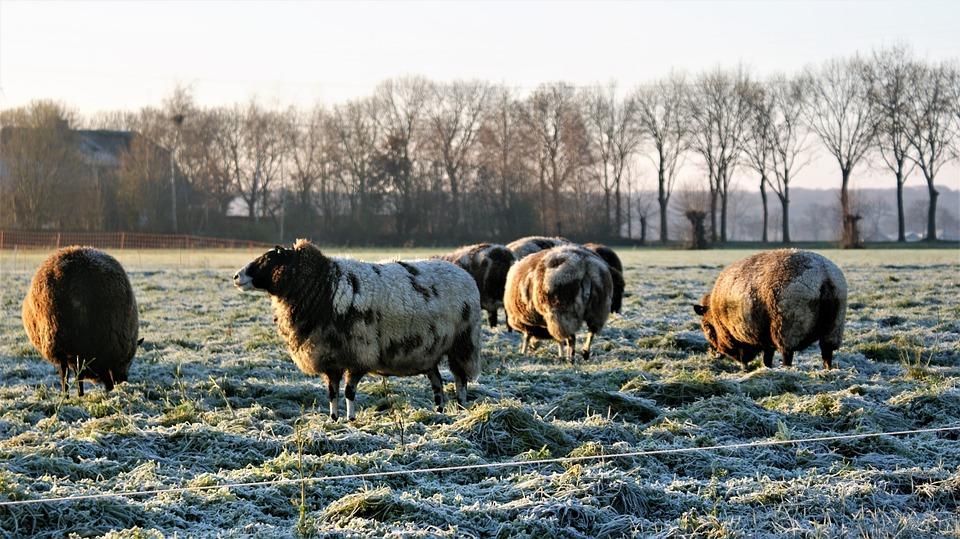 Sheep, Winter, Frozen, Wool, Herd, Countryside, Farm