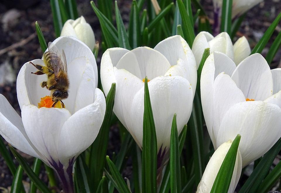 Crocus, Frühlingsblüher, Bee, Flower, Spring Flower