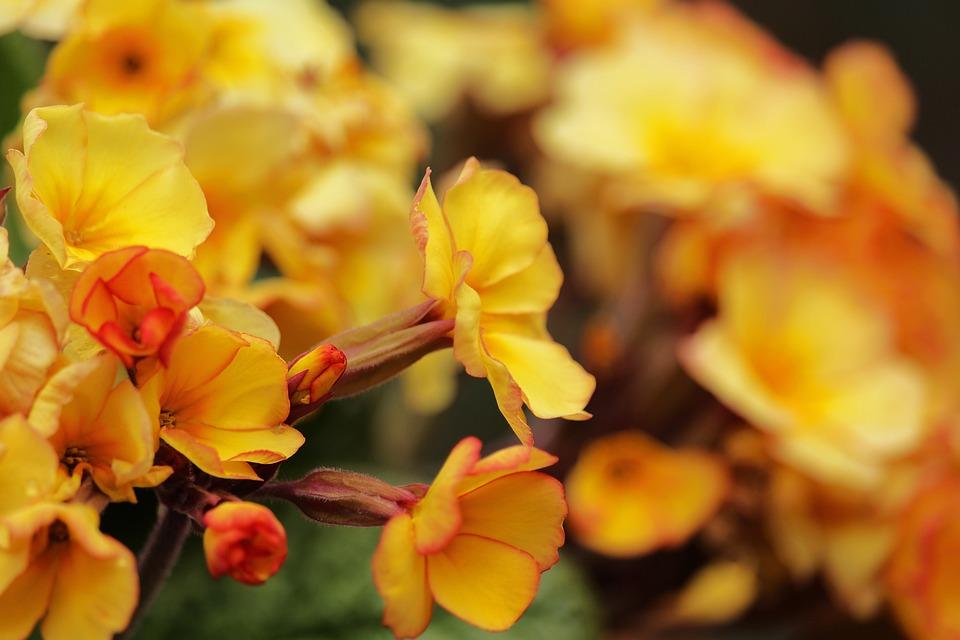 Yellow Primroses, Frühlingsblüher, Primroses, Spring