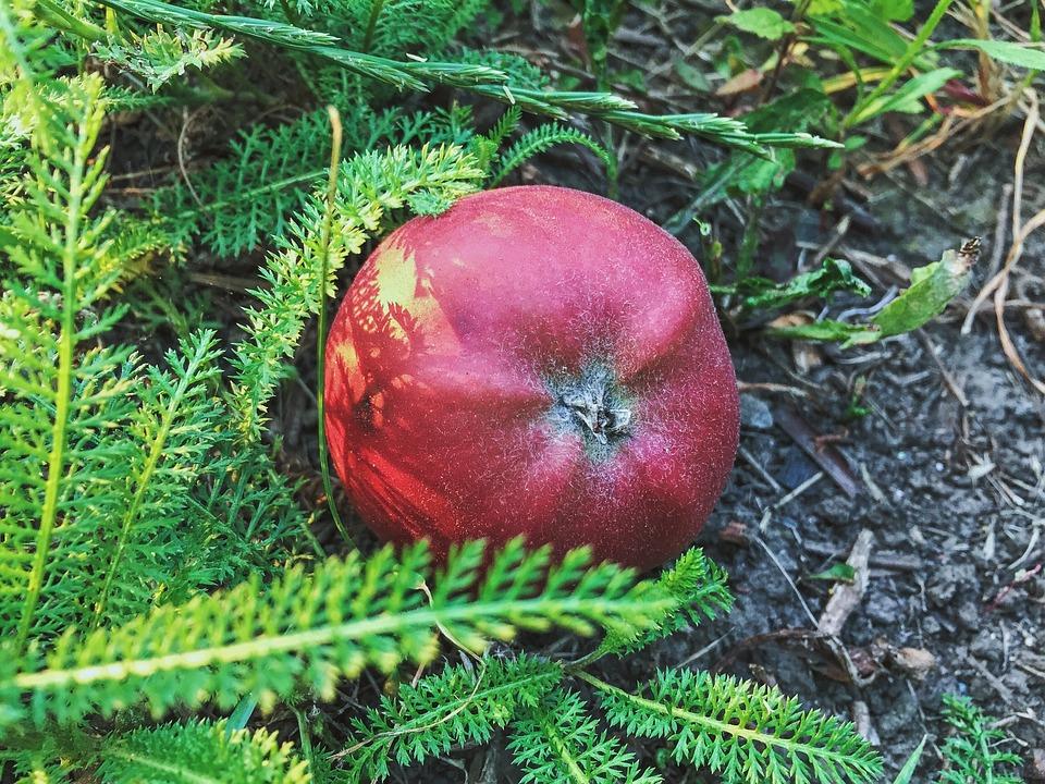 Apple, Fruit, Grass, Summer, Red Apple