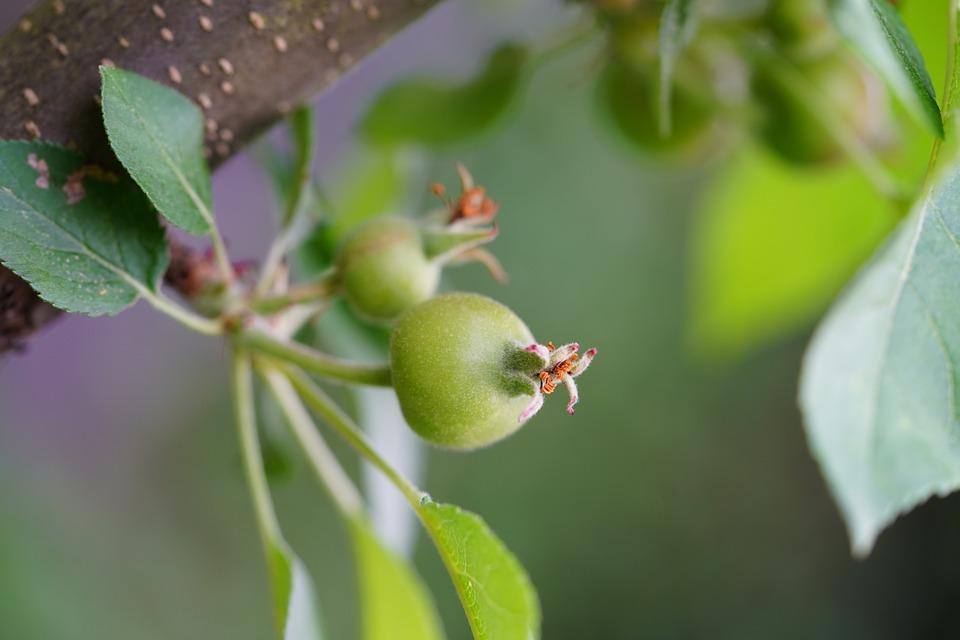 Apple Tree, Fruit Tree, Fruit, Apple Blossom