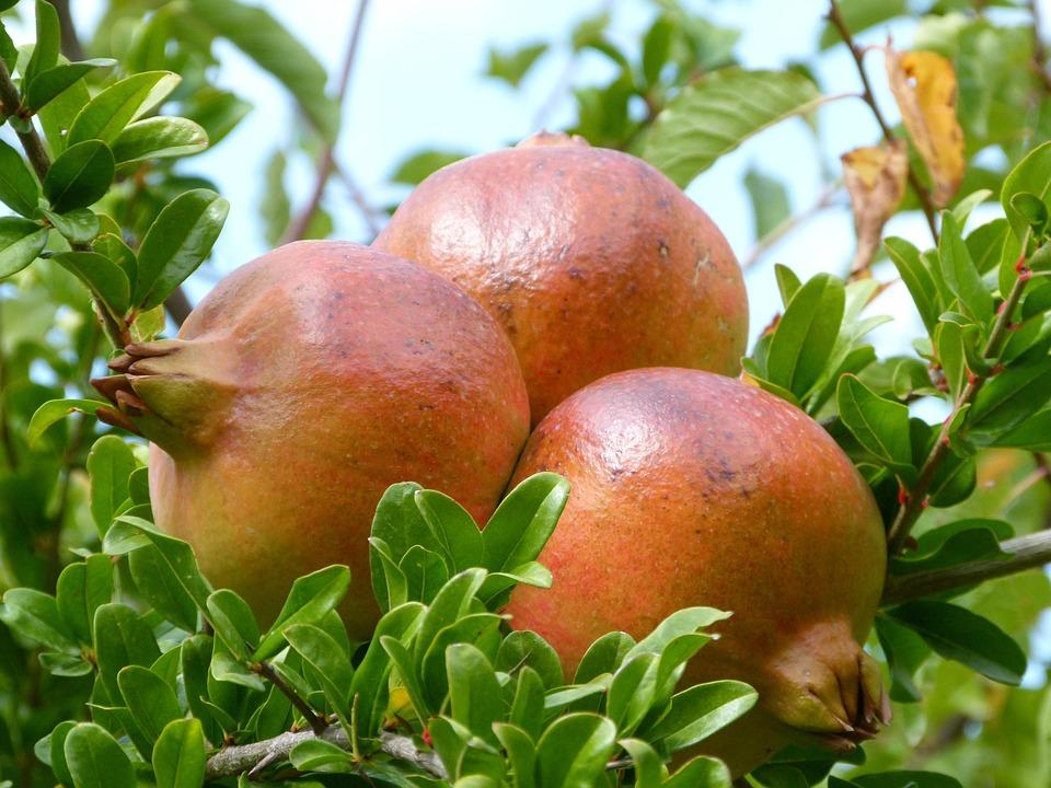 Grenades, Fruit, Autumn, Magrana, Granado, Tree