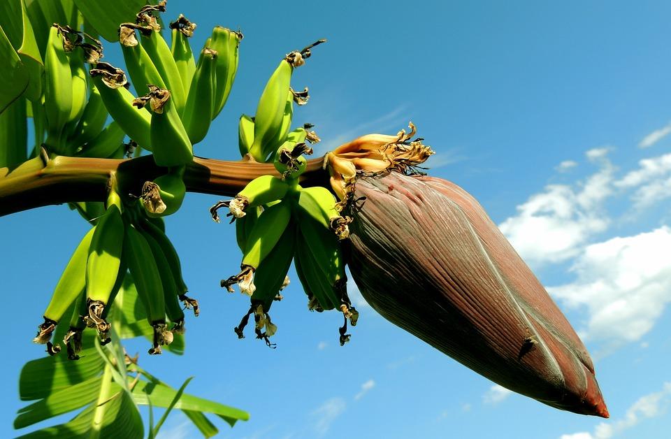 Banana, Banana Tree, Bunch Of Bananas, Fruit, Plants