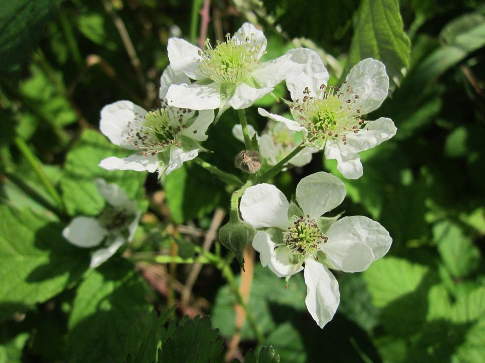 Bramble, Blackberry, Shrub, Bush, Plant, Flora, Fruit