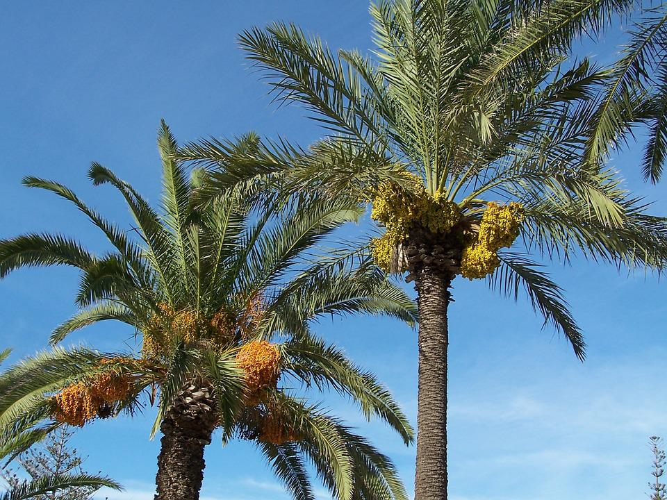 Date Palm, Date, Palm, Tree, Fruit, Exotic