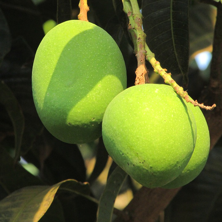 Three Mangoes, Fresh Mango, Dharwad, India, Fruit