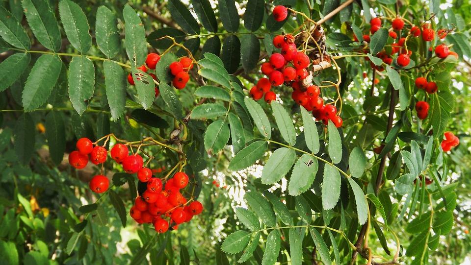 Flora, Tree, Rowan, Red, Fruit, Foliage, Nature, Summer