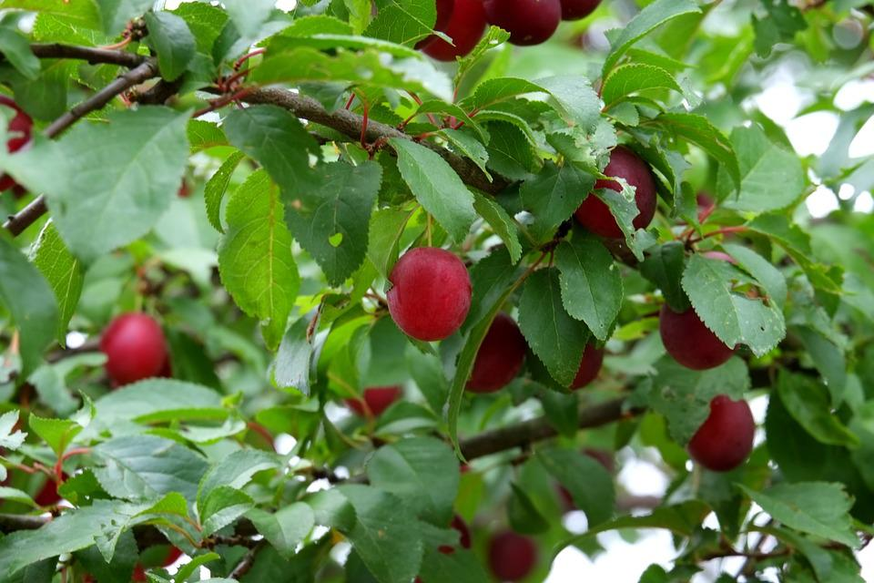 Wild Plum, Fruit, Fruits, Delicious, Sweet, Food
