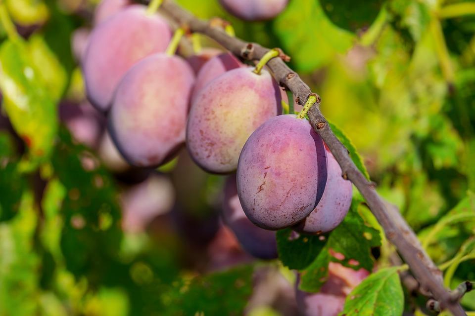 Plums, Plum Tree, Fruit, Fruits, Immature, Fruit Tree