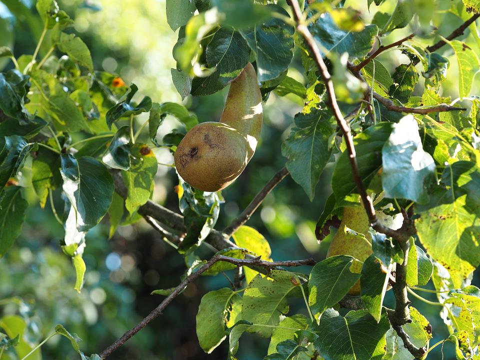 Pear, Garden, Nature, Bio, Fruits, Fruit, Healthy, Ripe
