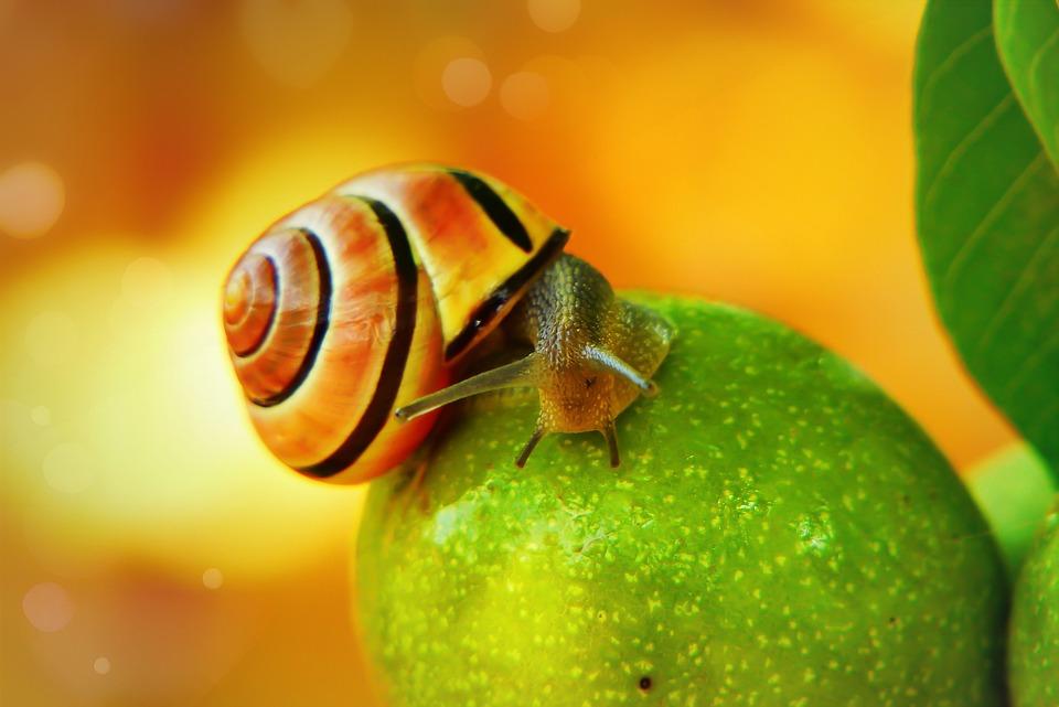 Wstężyk Huntsman, Molluscs, Fruit, Garden, Foliage