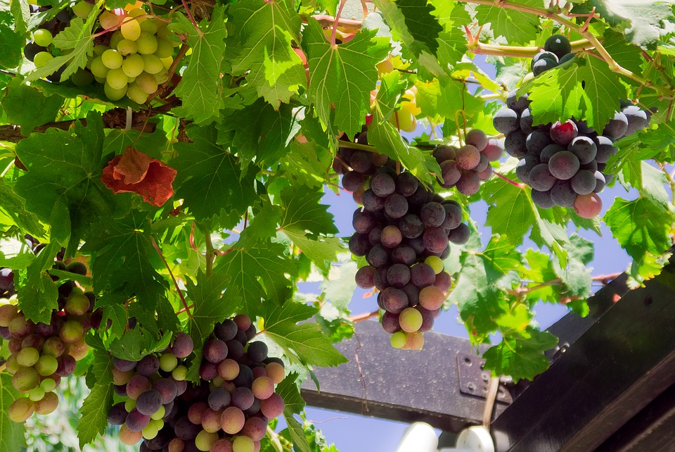 Grapes, Gazebo, Fruit