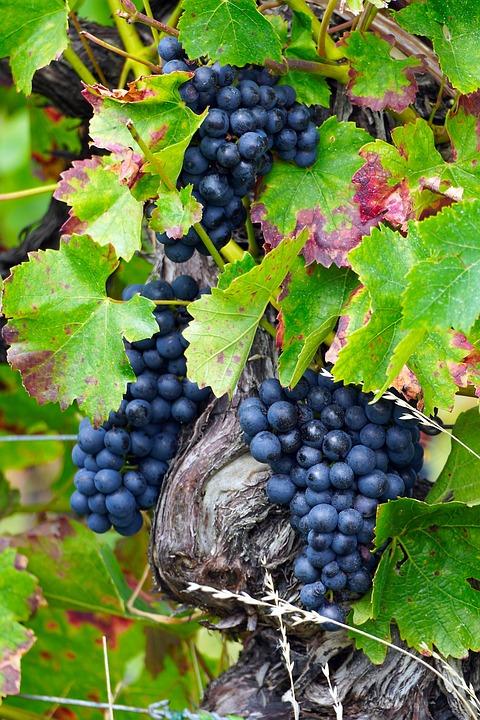 Fruit, Grapes, Vine, Ripe, Viticulture, Organic