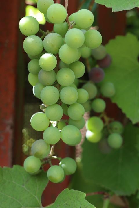 Green, Grapes, Vines, Fruit, Summer, Fresh