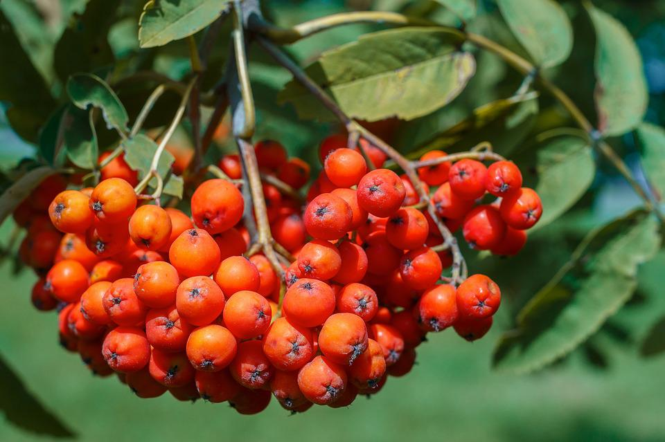 Rowan, Berry, Red, Fruit, Plant, Nature, Bright, Green