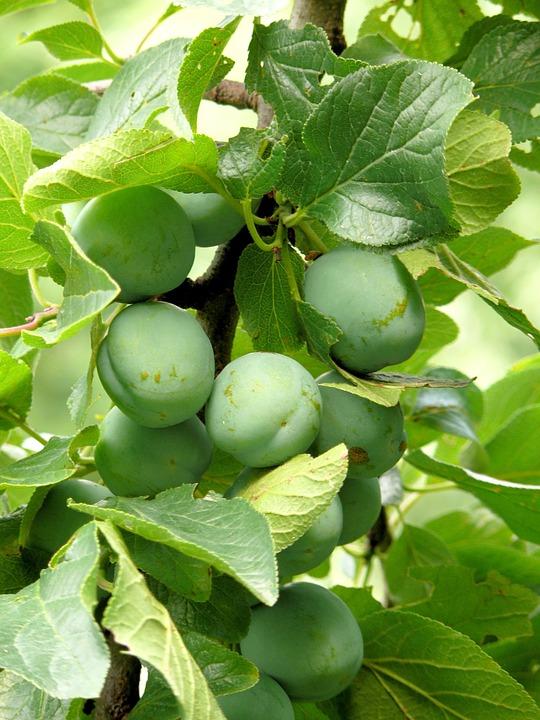 Plums, Reine Claude, Fruit, Green, Spring, Tree