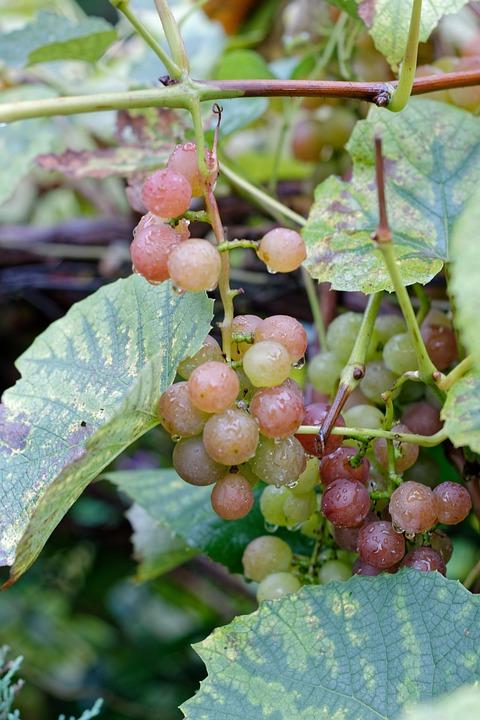 Bunch Of Grapes, Grapes, Fruit, Vines, Group, Autumn