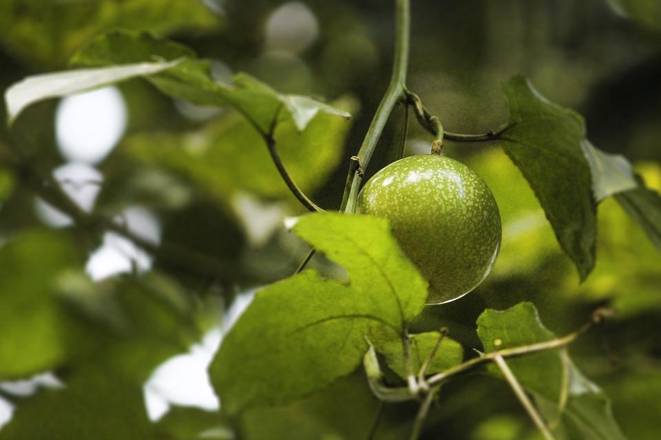 Passion Fruit, Plant, Fruit Hanging, Nature, Fruit