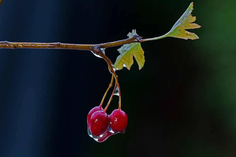 Weissdorn, Fruit, Wet, Hawthorn Berries, Rainy Weather