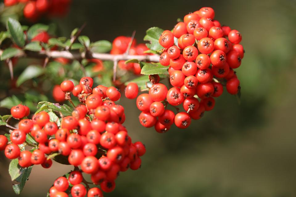 Red, Fruit, Hawthorn