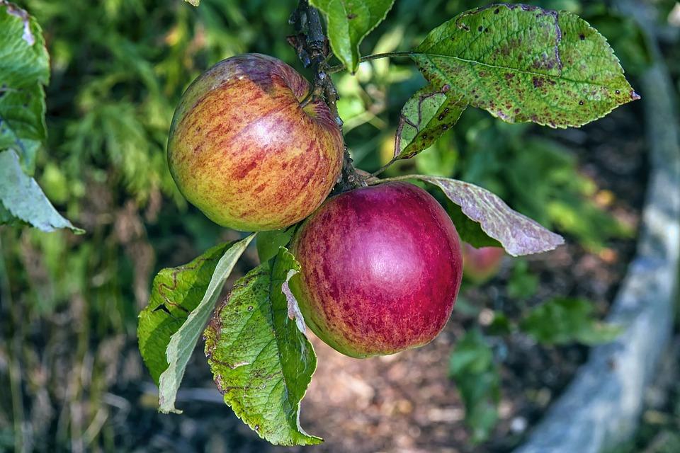 Boskoop, Apple, Fruit, Red, Healthy, Vitamins