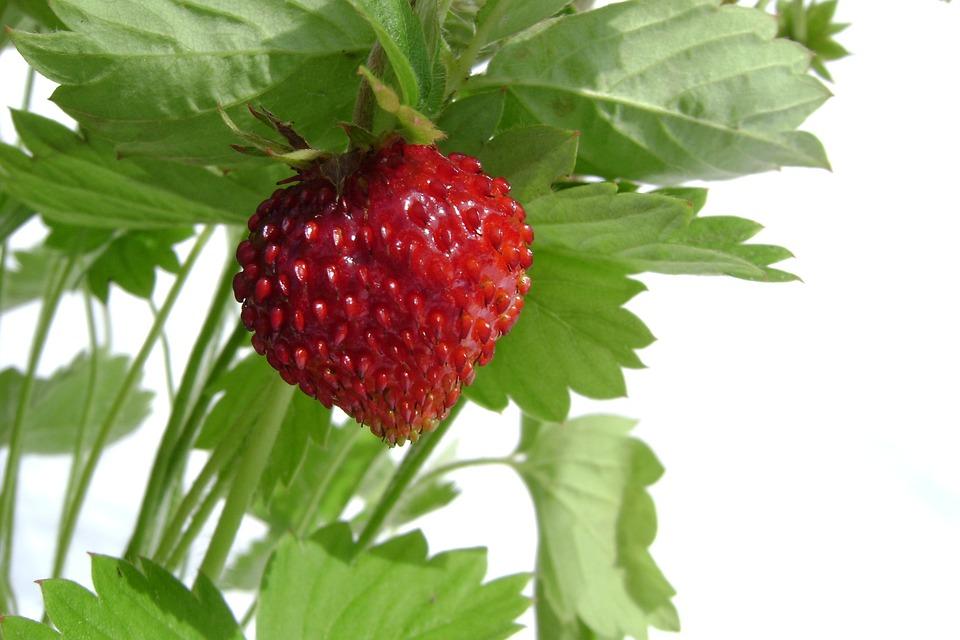 Fragaria Vesca, Fruit, Summer, Holidays, Nature, Garden