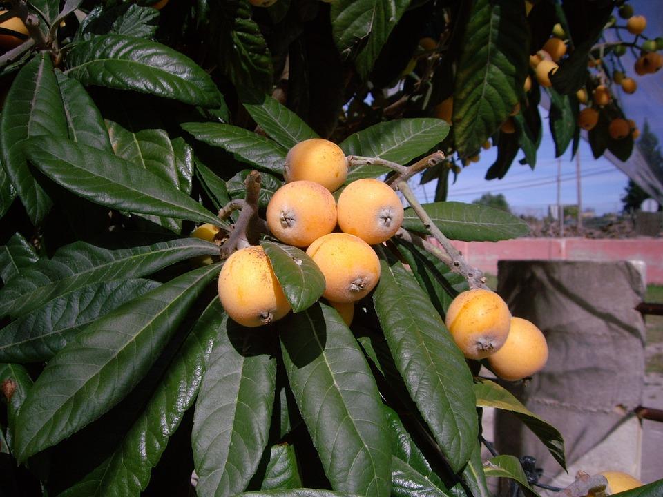 Tree, Botanical, Medlar, Organic, Yellow, Green, Fruit