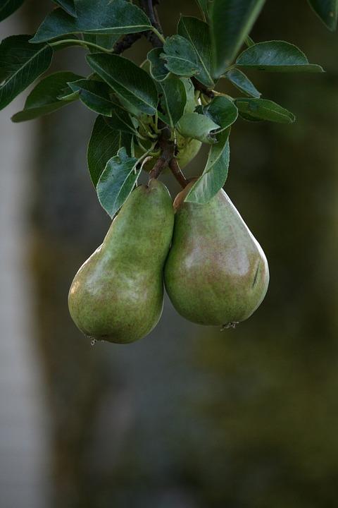 Pears, Fruit, Hanging, Pair, Natural