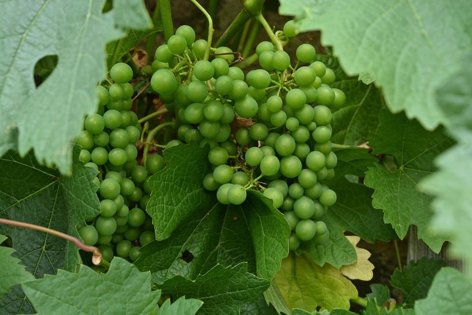 Vine, Fruit, Agriculture, Leaf, Nature, Wine, Food