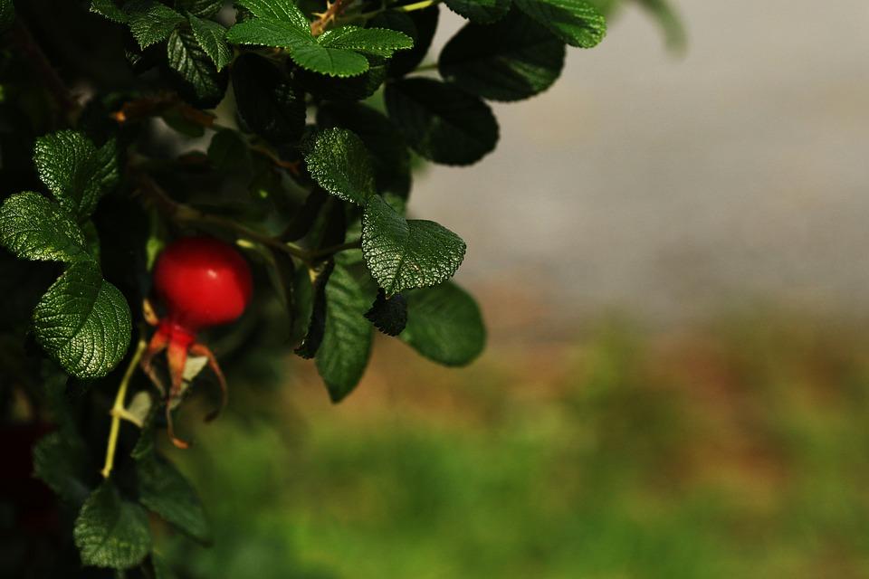 Rose Hip, Nature, Red, Herb, Fruit