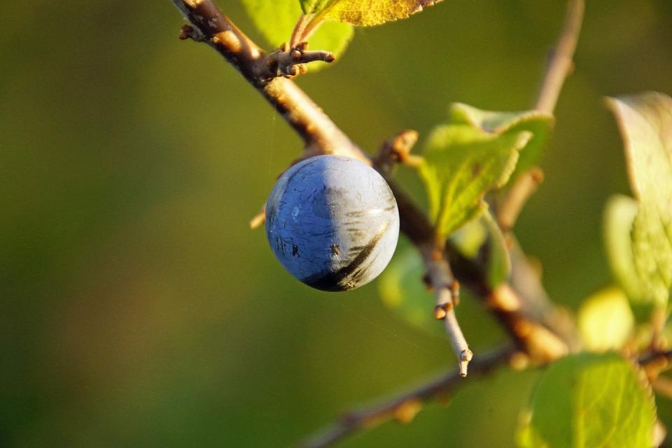 Schlehe, Fruit, Autumn, Nature, Bush, Blackthorn, Close