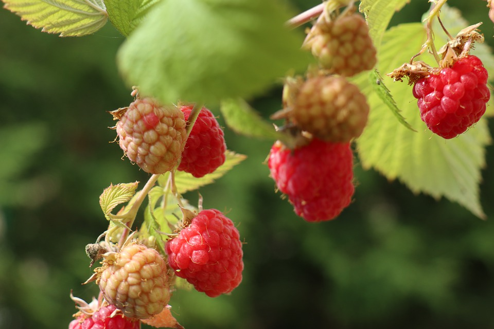 Summer, Garden, Nature, Fruit, Raspberries