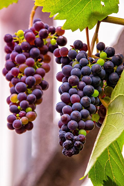 Grapes, Red, Fruit, Nature, Wine, Winegrowing, Vine