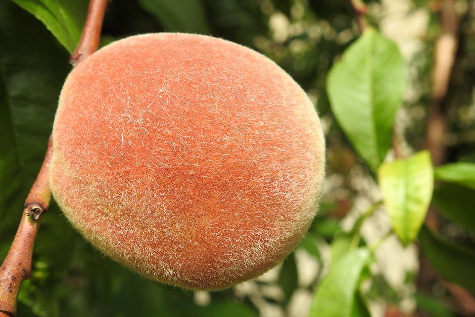 Peach, Peach Tree, Fruit, Eat
