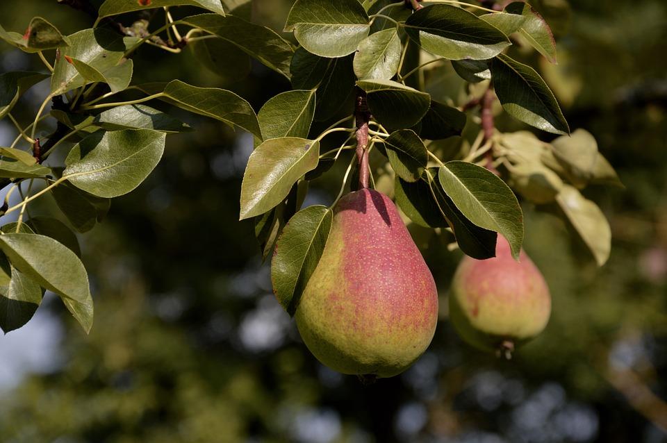 Pear, Fruit, Pome Fruit, Food, Fruits, Harvest, Ripe
